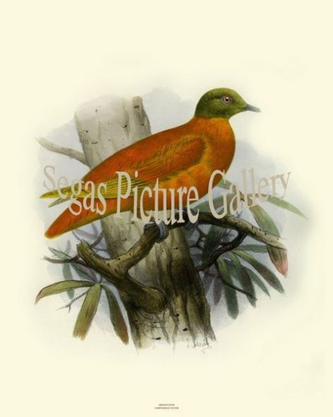 Bird Print of the Orange Dove by Joseph Smit (1860)